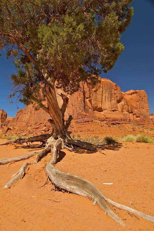 Navajo Tree and Cliff