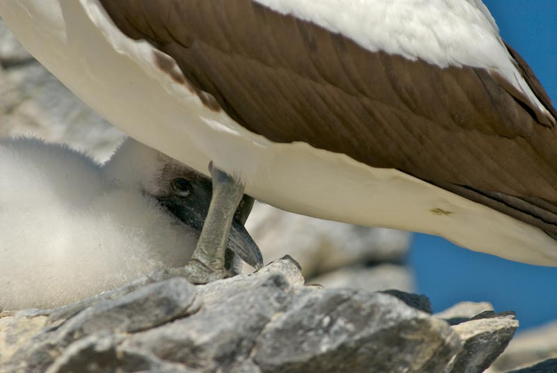 Nazca Booby with Chick-tight