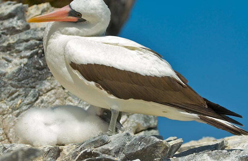 Nazca Booby with Chick-wide
